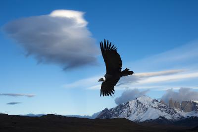 Andean Condor (Vultur Gryphus) Flying over Torres Del Paine National Park, Chilean Patagonia, Chile-G & M Therin-Weise-Photographic Print