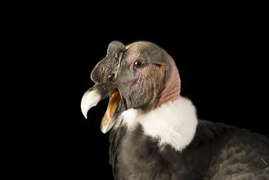 Andean Condor, Vultur Gryphus.-Joel Sartore-Photographic Print