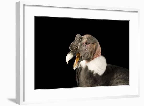 Andean Condor, Vultur Gryphus.-Joel Sartore-Framed Photographic Print