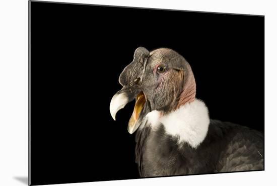 Andean Condor, Vultur Gryphus.-Joel Sartore-Mounted Photographic Print