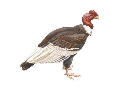Andean Condor (Vultus Gryphus), Birds-Encyclopaedia Britannica-Art Print