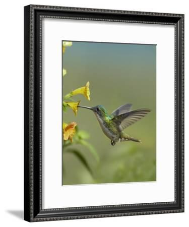 Andean Emerald Hummingbird Feeding On A Yellow Flower Ecuador Art Print Tim Fitzharris Art Com