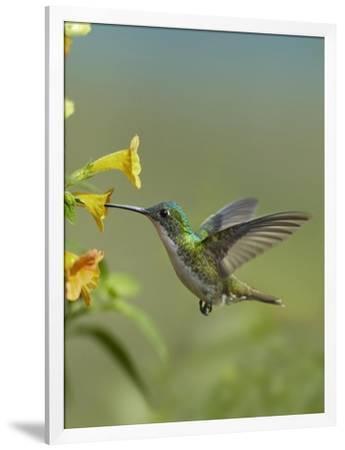 Andean Emerald Hummingbird Feeding On A Yellow Flower Ecuador Stretched Canvas Print Tim Fitzharris Art Com
