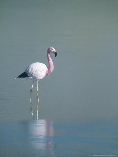 Andean Flamingo, Summer Feeding Ground, Lake Hedionda, Bolivia-Mark Jones-Photographic Print