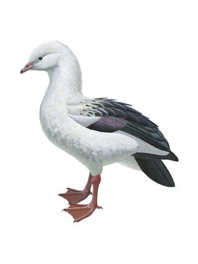 Andean Goose (Chloephaga Melanoptera), Birds-Encyclopaedia Britannica-Art Print