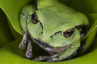 Andean Marsupial Tree Frog, Ecuador-Pete Oxford-Photographic Print
