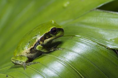 Andean Marsupial Tree Frog Froglet, Ecuador-Pete Oxford-Photographic Print
