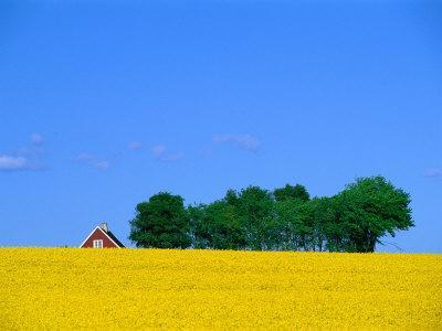 Bright Yellow Rapefields and Red Roofed Farmhouse on the Kulla Peninsula, Skane, Sweden