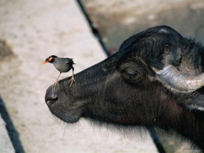 Buffalo with Common Myna (Acridotheres Tristis), Varanasi, India