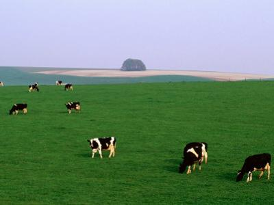 Cows Grazing on Green Fields, Avebury, Wiltshire, England
