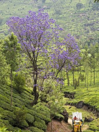 Flowering Tree and Tractor Amongst the Tea Plantations