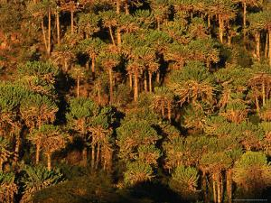 Forest of Cactus Trees (Euphorbia Sp) Covering Southern Slopes, Lake Naivasha, Kenya by Anders Blomqvist