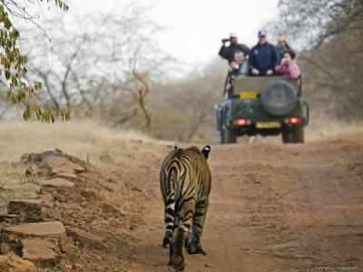 Young Male Bengal Tiger Walking Towards a Tourist-Laden Jeep