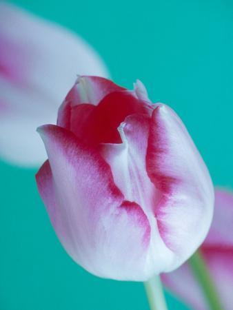 Tulipa Maximowiczii Against Green Background February