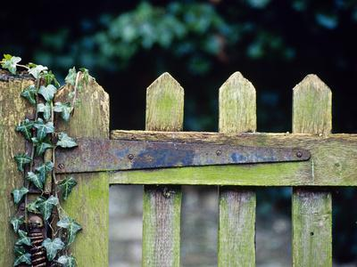 Wooden Gate with Ivy (Hedera) December