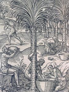 Inhabitants of Cape Verde Making Drinks from Palm Trees, Engraving from Universal Cosmology by Andre Thevet