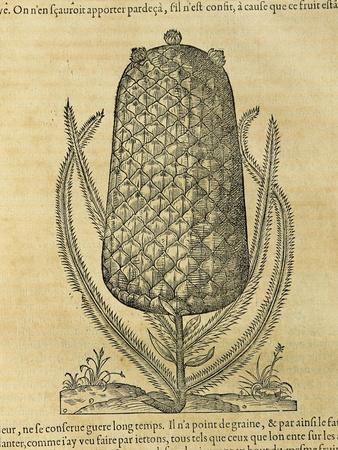 Pineapple (Ananas Comosus) , 1575