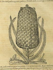 Pineapple (Ananas Comosus) , 1575 by Andre Thevet