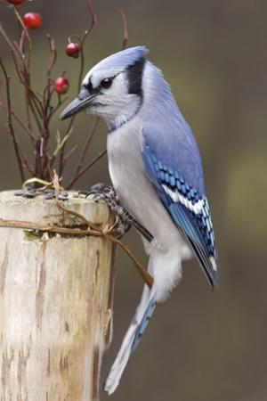 Jay And Berries by Andre Villeneuve