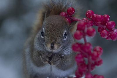 Red Squirrel And Berries