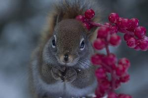 Red Squirrel And Berries by Andre Villeneuve