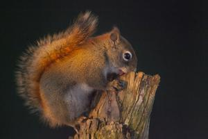 Red Squirrel by Andre Villeneuve