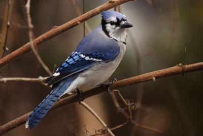 The Bleue Of Jay by Andre Villeneuve
