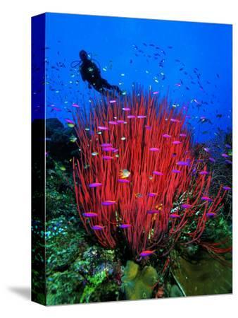 A Colony of Scarlet Red Soft Quirt Corals