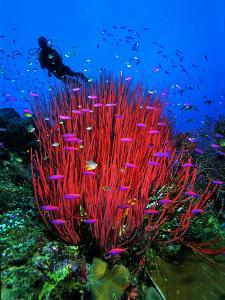 A Colony of Scarlet Red Soft Quirt Corals by Andrea Ferrari