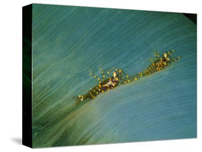 A Coralliform (Amplexidiscus Fenestrafer) and Two Shrimps (Pliopontonia Furtiva)