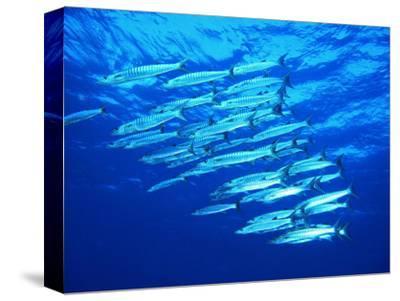A Shoal of Black-Tail Barracudas (Sphyraena Qenie)