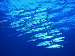 A Shoal of Black-Tail Barracudas (Sphyraena Qenie) by Andrea Ferrari