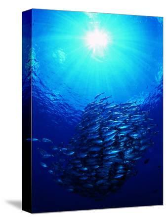 A Shoal of Jack Crevalle Crevalle Jack Fishes (Caranx Sexfasciatus)