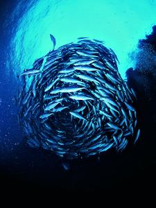 A Shoal of Jack Crevalle Crevalle Jack Fishes (Caranx Sexfasciatus) by Andrea Ferrari