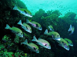 A Shoal of Speckled Sweetlips (Plectorhinchus Fishes) by Andrea Ferrari