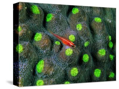 A Tiny Gobidon Gobiodon Trimma Anaima Among the Corals