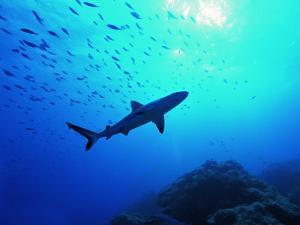 A Young Specimen of Gray Shark by Andrea Ferrari