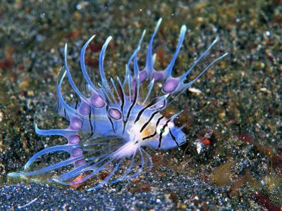 An Immature Specimen of Lion Fish