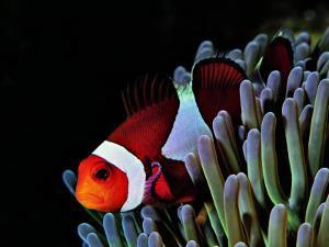 Clown Fish (Amphiprion Ocellaris) by Andrea Ferrari