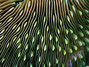 Coral of the Genus Fungia by Andrea Ferrari