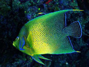 Crescent Angel Fish (Pomacanthus) by Andrea Ferrari