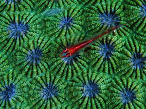 Gobidon Gobiodon of the Corals (Pleurosicya Mossambica) on a Colony of Diploastrea by Andrea Ferrari