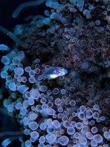 Jack Crevalle Fish (Caranx) by Andrea Ferrari