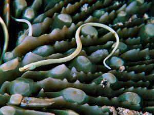 Needle Fish of the Corals (Syokunichthys Nigrolineatus) by Andrea Ferrari
