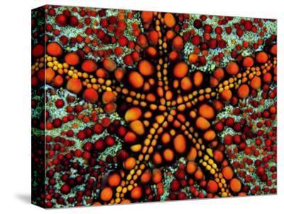 Pincushion Starfish (Culcita Novaeuineae)