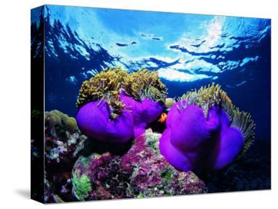 Sea Anemones (Heteractis Magnifica) and Clown Fish (Amphiprion Nigripes)