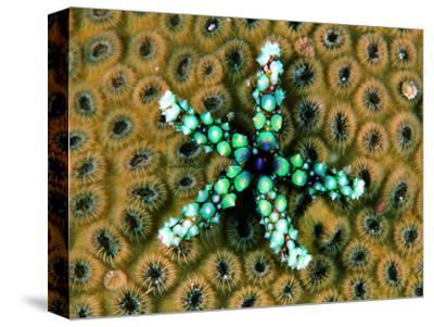 Starfish (Gomophia)