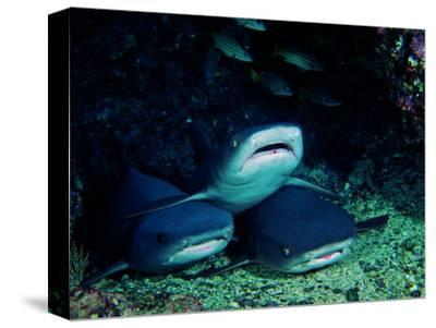 White Fin Sharks of the Reef (Trianodon Obesus)