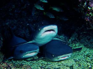 White Fin Sharks of the Reef (Trianodon Obesus) by Andrea Ferrari