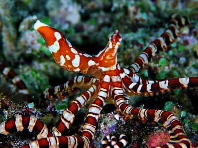 Wonder Octopus (Wonder Octopus or Wonderpus)